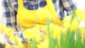 Весеннее время, женщина в касаниях сада и narcissus запахов видеоматериал