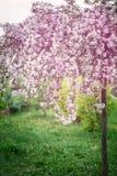 Весеннее время, молодой blossoming вишни just rained Стоковое Изображение