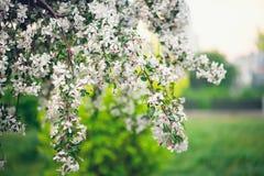 Весеннее время, молодой blossoming вишни just rained Стоковое Фото