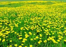 Весеннее время - одуванчик зацветал Стоковая Фотография RF
