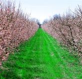 весеннее время персика рощи Стоковое фото RF