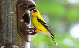 Весеннее время приносит маленьких желтых птиц, американских tristis Spinus Goldfinch Стоковые Изображения