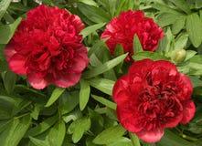 весеннее время роз peony сада Стоковые Фотографии RF