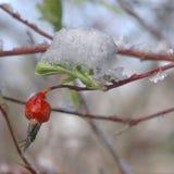 Весеннее время снега плодов шиповника Стоковые Изображения RF