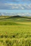 Весеннее время Холмистый ландшафт с полями пшеницы неполовозрелыми, преобладанными облаками Италия Стоковое Изображение RF