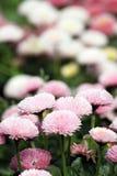 Весеннее время цветочного сада маргаритки Стоковые Изображения RF