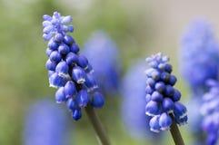 Весеннее время armeniacum Muscari орнаментальное цветет, цветущ голубой завод в саде стоковая фотография rf