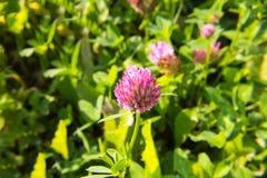 Весенний день flover клевера фиолетовый солнечный стоковые изображения rf
