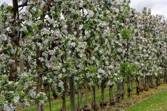 Весенний сезон плантации яблони Стоковое фото RF