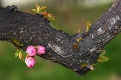 весна бутона Стоковое Изображение RF