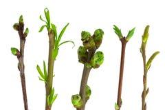 весна ветвей Стоковая Фотография RF