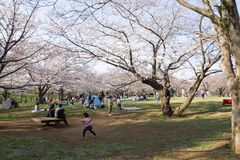 весна 2019 вишневых деревьев стоковые изображения rf