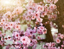 весна вишни цветений Стоковое Изображение RF