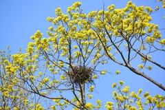 Весна Вороны мяса гнездо на ветвях blossoming клена Стоковые Фотографии RF