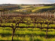Весна в винограднике Вейл McLaren Стоковое фото RF