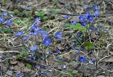 Весна в лесе. 2 цветка весны Буша первых Стоковое Изображение RF