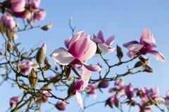 Весна в Лондоне ` Леонарда Messel ` магнолии, розовый цветок и отверстие бутона на дереве Стоковая Фотография