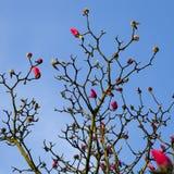 Весна в Лондоне ` Леонарда Messel ` магнолии, розовый цветок и отверстие бутона на дереве Стоковые Изображения RF