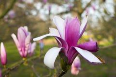 Весна в Лондоне ` Леонарда Messel ` магнолии, розовый цветок и отверстие бутона на дереве Стоковые Фото