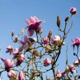 Весна в Лондоне ` Леонарда Messel ` магнолии, розовый цветок и отверстие бутона на дереве Стоковые Изображения