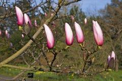 Весна в Лондоне ` Леонарда Messel ` магнолии, розовый цветок и отверстие бутона на дереве Стоковое Фото