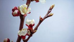 Весна в саде сливы