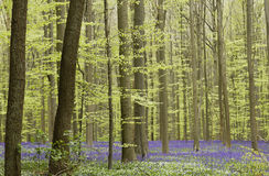 Весна в Hallerbos, Бельгии Стоковые Фотографии RF