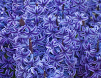 весна гиацинта предпосылки Стоковая Фотография RF