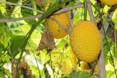 Весна горький плодоовощ Cucmber или Gac Стоковая Фотография