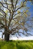 весна грандиозного дуба старая стоковое изображение