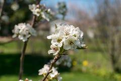 Весна грушевого дерев дерева предыдущая Стоковое Изображение