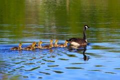весна гусынь Канады Стоковая Фотография RF