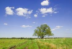 весна дуба одиночная Стоковые Фотографии RF