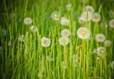 весна зеленого цвета травы одуванчиков свежая Стоковые Фото