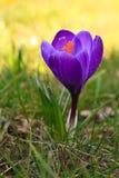 весна знака крокуса Стоковая Фотография