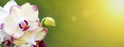 Весна, знамя весеннего времени - белая орхидея цветет Стоковые Изображения