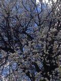 Весна и абрикос стоковые фотографии rf
