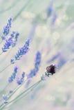 Весна и bokeh цветка лаванды Стоковое фото RF