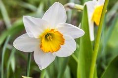 Весна конца-вверх цветка Daffodil на улице на предпосылке травы стоковая фотография