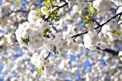 весна конца ветви цветеня вверх Стоковые Фотографии RF