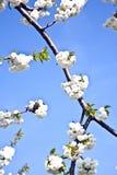 весна конца ветви цветеня вверх Стоковое Изображение