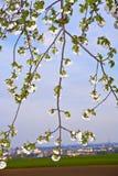 весна конца ветви цветеня вверх Стоковые Фото
