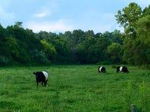 Весна коровы панды стоковые фото