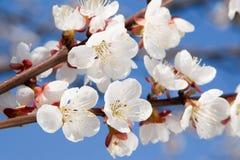 весна красотки Стоковые Изображения RF