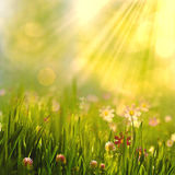 Весна красоты и ландшафт лета с свежей маргариткой цветут Стоковое Изображение RF