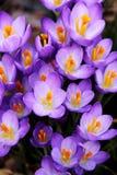 весна крокуса Стоковые Фото