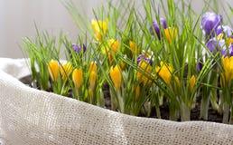 весна крокуса стоковое изображение rf