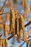 Весна Крупный план catkins ольшаника Стоковые Фотографии RF