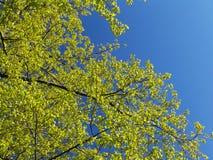 весна листва Стоковая Фотография RF