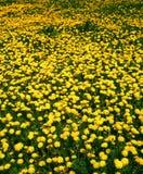 весна лужка одуванчика Стоковая Фотография